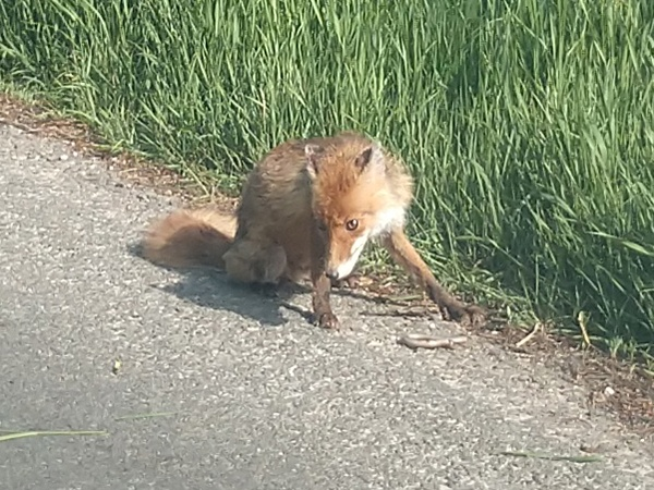 fox eating snake roadside